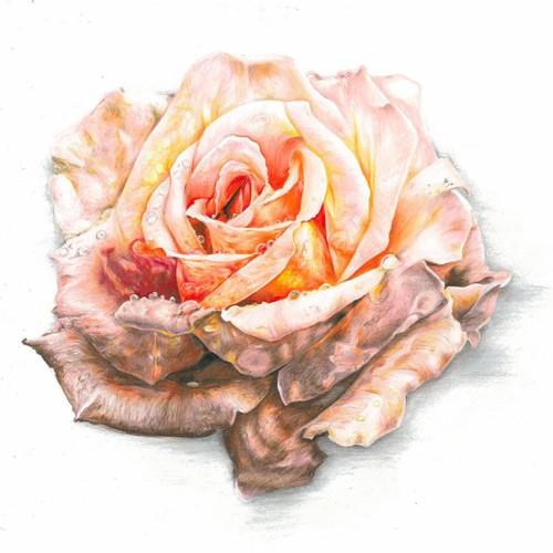 rose_1024x1024
